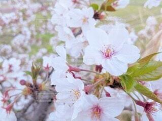 桜の花の写真・画像素材[4333151]