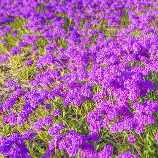 紫の草花の写真・画像素材[4416311]