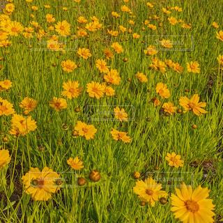 黄色いオオキンケイギクの写真・画像素材[4416312]