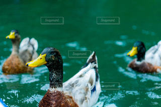 鴨の表情の写真・画像素材[1427855]