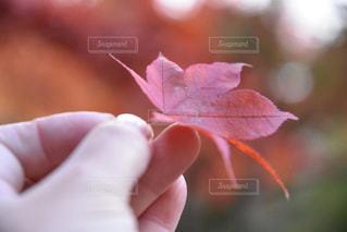 紅葉と手の写真・画像素材[1428875]