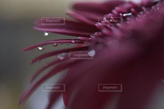 ガーベラと水滴の写真・画像素材[1432044]