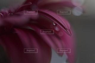 ガーベラと水滴の写真・画像素材[1432045]