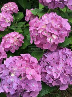 紫陽花の写真・画像素材[1428993]