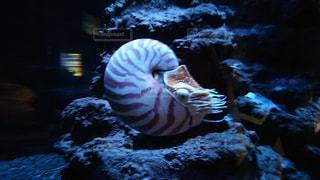 オウム貝の写真・画像素材[1435562]