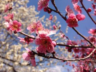 梅と桜の写真・画像素材[1433355]