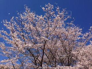 桜の木の写真・画像素材[1433356]