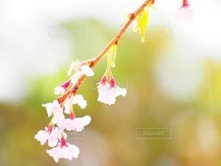 シダレサクラの写真・画像素材[45854]