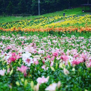 フィールドに大きなピンクの花の写真・画像素材[1430768]