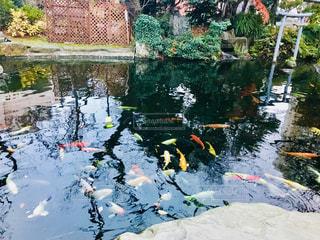 池を泳ぐ鯉の写真・画像素材[1431162]
