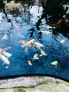 池を泳ぐ鯉の写真・画像素材[1431165]