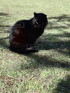 草の上に座っている黒猫の写真・画像素材[1432305]