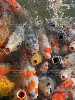 鯉の群れの写真・画像素材[4036577]