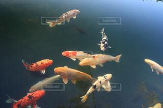 鯉の写真・画像素材[1581745]