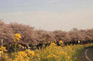 桜並木と菜の花の写真・画像素材[1720818]