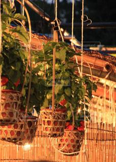 夜のほおずき市の鉢植えの写真・画像素材[1782754]