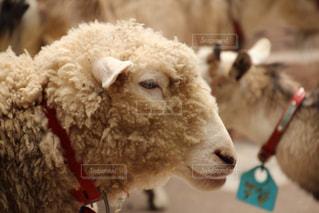 近くに羊のアップの写真・画像素材[1782756]
