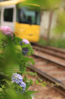 アジサイの横を路面電車走るの写真・画像素材[2016211]