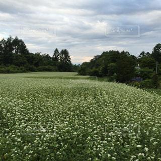 #蕎麦の花畑の写真・画像素材[2071609]