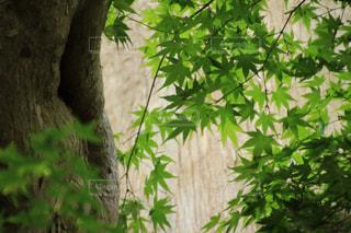 緑のもみじの写真・画像素材[2101716]