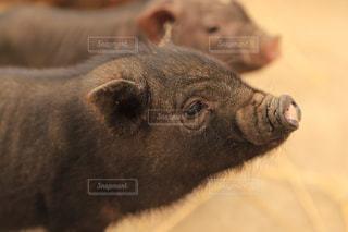 黒い子豚の写真・画像素材[2222005]