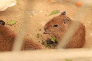 エサを食べるカピバラの子の写真・画像素材[2222013]