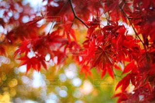 もみじの赤い紅葉の写真・画像素材[2728922]