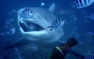 目と鼻の先に鮫の写真・画像素材[1433444]