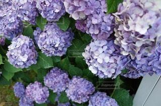 花の写真・画像素材[47359]