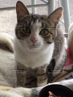カメラを見ている猫の写真・画像素材[1433179]