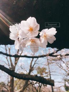 桜の写真・画像素材[1726759]