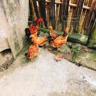 散歩中の鶏たちの写真・画像素材[1436124]