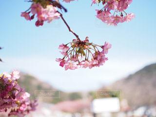 青い空に映える河津桜の写真・画像素材[1439101]