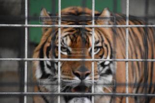 檻の中の虎 トラの写真・画像素材[1457093]