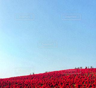 コキア畑の写真・画像素材[1531393]