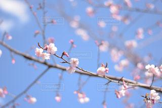 少し早めの桜の写真・画像素材[2972117]