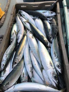 クロアチア フェリー  ザダル フェリー プルコ ウグリャン島  海 漁 イワシ 鰯の写真・画像素材[1438728]