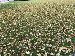 秋の落し物の写真・画像素材[1441144]