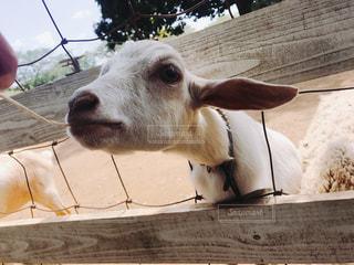 木製フェンスの上に立っている白い牛の写真・画像素材[1437191]