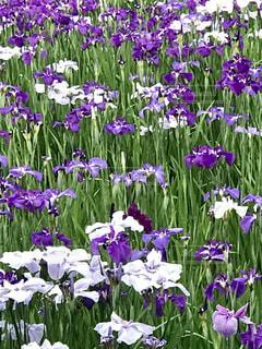 紫色の花一杯の花瓶の写真・画像素材[1437219]