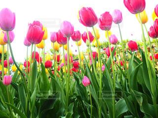 上を向いて咲くチューリップたち🌷🌷🌷の写真・画像素材[1439873]