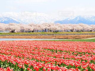 チューリップ🌷桜🌸雪山🏔のコラボレーションの写真・画像素材[1442055]