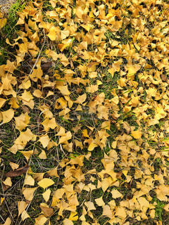 黄色一色の落ち葉の写真・画像素材[1623372]
