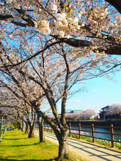 桜並木の写真・画像素材[1994086]