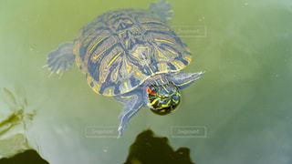 水面を泳ぐカメの写真・画像素材[1441334]