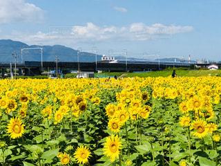 ひまわり畑の写真・画像素材[1439685]