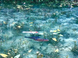 モネの池の写真・画像素材[1439817]