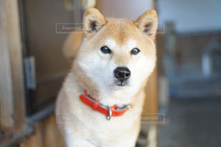 カメラを見ている柴犬の写真・画像素材[1439732]