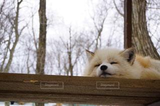 木製のベンチの上に座っているキツネの写真・画像素材[1439735]