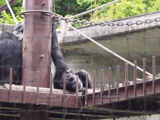 だらけたチンパンジーの写真・画像素材[1441102]